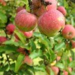 drei Äpfel im Vordergrund an Zweigen eines Apfelbaumes